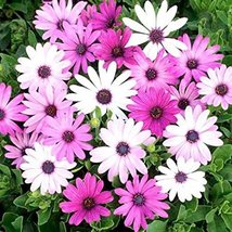 White and Purple African Daisy Mix Flower L 60+ Seeds - $41.64