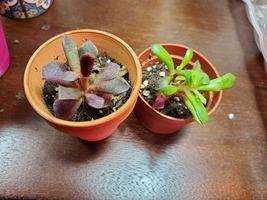 "Sun Rose Succulent Plant, Live Anacampseros rufescens in 2"" pot image 2"