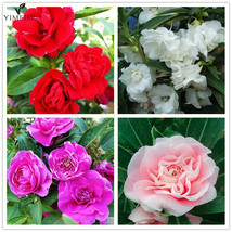 50pcs/bag Garden Balsam Seeds White pink red purple Impatiens - $1.50