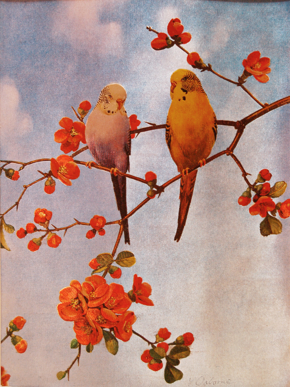 159447 parakeets