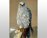 W6017m gyr falcon thumb155 crop