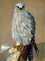 Gyr Falcon (Dufex Foil Print #W6017M) - $4.99