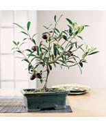 10 Olive Bonsai Tree (Olea Europaea) Seeds, Mini Olive Tree, Olive Bonsa... - $2.69