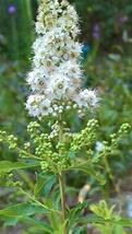 Meadowsweet, (Spirea alba var latifolia) Attracts Butterflies, Bees and Birds - $12.00