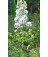 Meadowsweet, (Spirea alba var latifolia) Attracts Butterflies, Bees and ... - $16.00