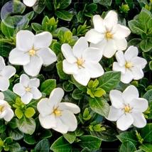 28 Seed Gardenia Jasminoides Cape Jasmine Heirloom Seeds, DIY Beautiful ... - $8.99