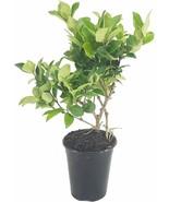 Ligustrum Waxleaf Privet - Live Quart Size Plants - Blooming Evergreen Privacy - $24.58 - $126.23
