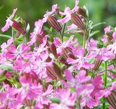 50 Silene pendula Seeds Nutate Catchfly Drooping Silene Garden Flowers  - $5.09