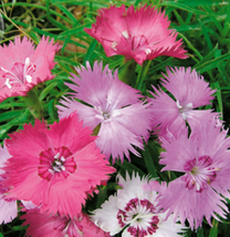 50pcs Very Wonderful Colorful Dianthus Superbus Flowers Seeds IMA1 - $13.95