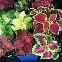 Coleus Rainbow Mix 500 Flower Seeds - $15.98