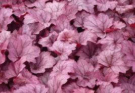 Coral Bells. Perennial. Plant - Heuchera 'Georgia Plum' – Gardening – tkbiso - $49.99