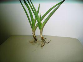 10 bare root plants FRAGRANT - Polianthus - Tuberose Bulbs single Mexica... - $29.00