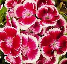 SWEET WILLIAM FLOWERS 1000 SEEDS ORGANIC, BEAUTIFUL CLUSTERS - $10.99