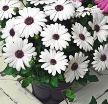 50 Osteospermum African Daisy Flower Seeds - $8.99