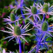 SHIP FROM US 400 Sea Holly Blue Flower Seeds (Eryngium Planum) , UTS04 - $19.98