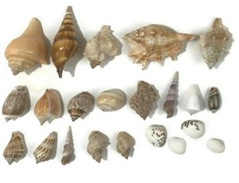 Vtg SEASHELL Lot of 22 COLLECTION Conch Snail WHELK AQUARIUM SEA SHELL A... - $39.59