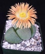 Live Plant Pleiospilos nelii Mesembs Split Rock Cactus Cacti Succulent R... - $33.79