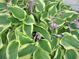 "2.5"" pot 1 Live Potted Plant hosta PILGRIM small fast classic - $32.99"
