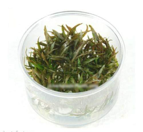 "1 Pcs of Cryptocoryne Mioya in Tissue Culture (Cup Size: 2.5""x2.5"") Live Aquariu"