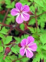 30 Herb ROBERT GERANIUM Robertianum Cranesbill Pink Shade Flower Seeds - $14.00