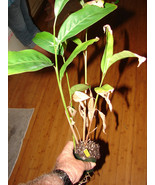 Sm potd Plant Hot Spicy Thai Ginger Alpinia GALANGA PLANT Greater Galang... - $65.00