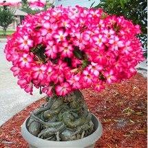 BEST PRICE 2 Seeds Desert Rose Adenium Obesum Bonsai Flower,FS DIY Flower Seeds - $6.95