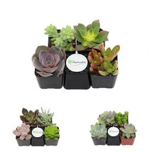 Plant Fully Rooted Succulents Unique Succulent Collection of 4 2-Inch Po... - $24.99