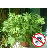200 Seeds Mosquito Repelling Grass Home and Garden Hot Sale - $3.79