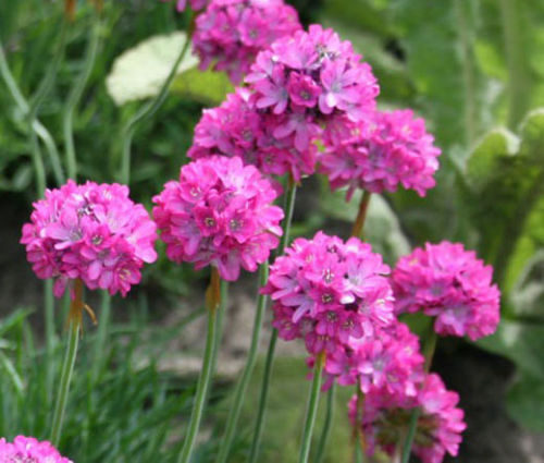 Primary image for ARMERIA SEA PINK Armeria Maritima Splendens - 200 Bulk Seeds