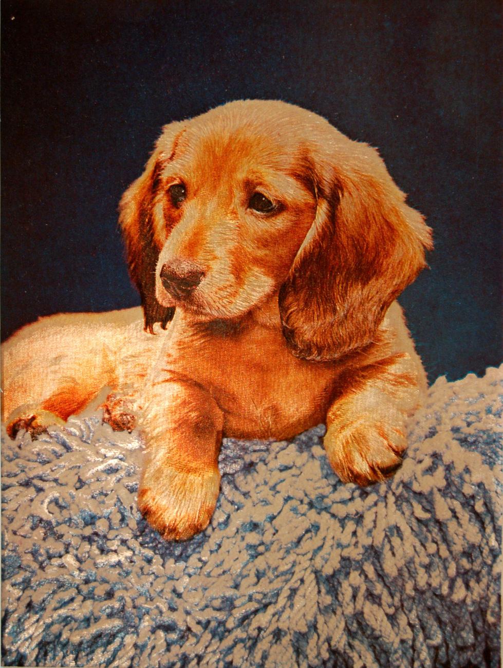 159411 puppy on shag rug