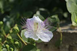 Caper Bush Seeds | Capparis Spinosa Seeds | 50 Seeds - $25.30