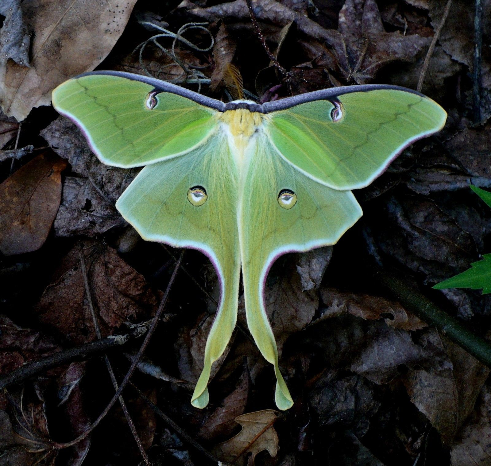 Luna Moth Photograph    Color Print   (Free Shipping)