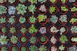 6 or 9 Succulent Plants, Fully Rooted in Planter Pots with Soil - Real Live Pott image 2