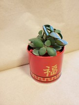 """Jade Plant in Red Gold Tin, 3"""" Planter Succulent Crassula ovata Chinese New Year image 6"""