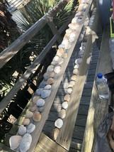 97 Multi Colored Bright Scallop Sea Shells from Folly Beach SC For Crafts - $20.00