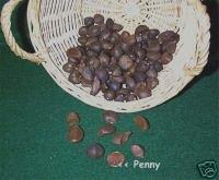 Camellia SEEDS - UNIQUE for Nature Crafts