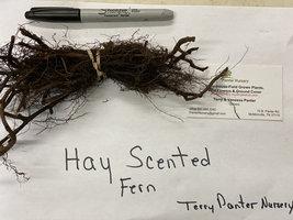 5 Hay Scented Fern clumps (Dennstaedtia punctilobula) image 3