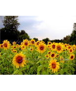 Sunflowers ( A Limited Edition Signed Canvas Print 35 x 26 inches ) by Mary Ross - $95.00