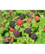 Bristol Black Raspberry Plant - $22.99