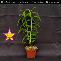 Fragrant BS Den. Nestor syn. Little Sweetscent (Den. parishii x Den. ano... - $55.11