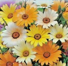 African Daisy Mix Flower 200 Seeds #CDB03 - $14.17