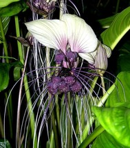 WHITE BAT PLANT Cats Whiskers Head Tacca Intergrifolia Rare 5 Seeds - $16.99