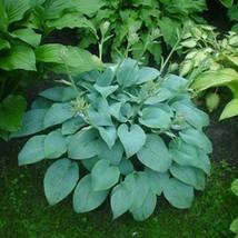 1 Plant -Fragrant Blue Hosta Heavy Established Perennial Quart Potted - ... - $67.99