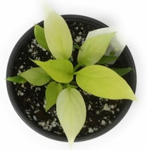 """1 Live Plant in 4"""" Pot - Spathiphyllum Gold Peace Lily #TFPN16 - $39.95"""