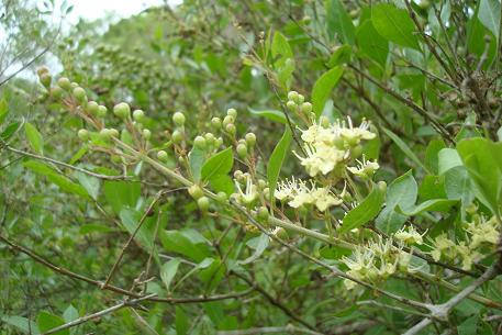 Seeds Henna plant Lawsonia inermis Dye Plant Mehandi Shrub Seeds 1000