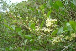 300  Lawsonia Inermis Seeds,Henna Plant Seed, Mehandi Dye Plant Seeds - $8.95