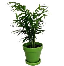 "Victorian Parlor Palm Live Plant - Houseplant growing in 4"" Ceramic Pot ... - €19,63 EUR"