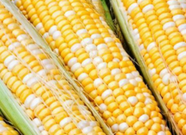 50 Pcs Seeds Serendipity Sweet Corn Vegetable - RK - $16.00