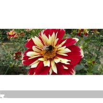 30 seed Dahlia Pinnata Perennial Flower Seeds, DIY Flower Garden DO - $8.99