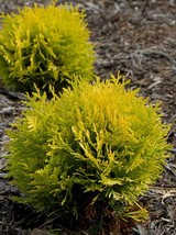 "Live Plant - Anna's Magic Ball Arborvitae - Thuja - Evergreen - 4"" Pot -... - $55.00"